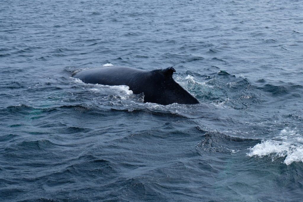 Very close to whales on our whale watching tour