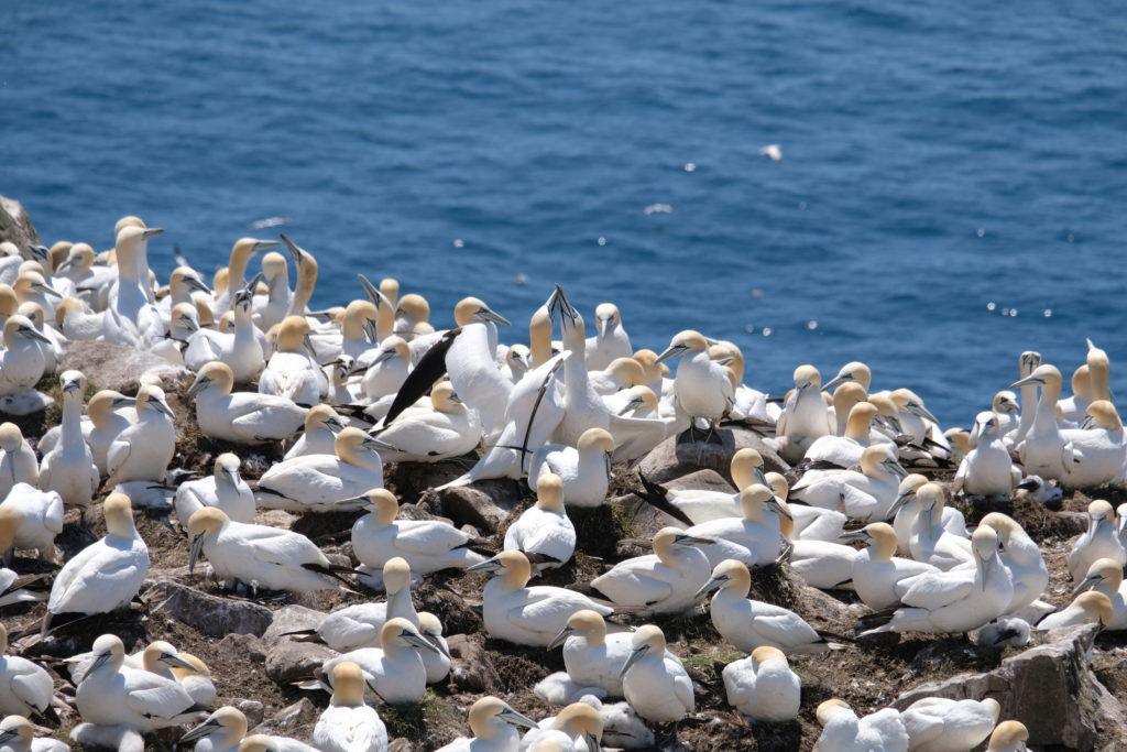 The gannet colonies
