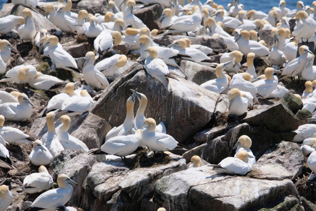 Loved up gannets